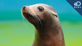 Rescuing Baby Sea Lions