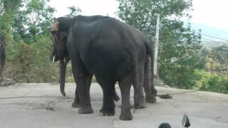 секс слонов