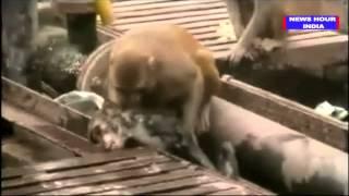 Macaco tenta salvar amigo que ia morrer eletrocutado nos trilhos do trem