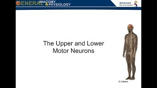 The Upper and Lower Motor Neurons