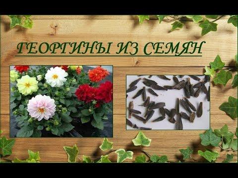 Георгины из семян - выращивание от посева до цветения