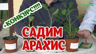 Как удачно посадить арахис и получить максимальный урожай?