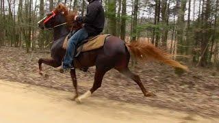 Talented Speed Racking Stallion 2 Yr Old - Jacob Parks Horsemanship