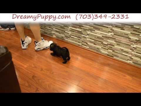 Playful Schnoodle Female Puppy