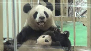 【パンダ親子】🐼愛情いっぱいの抱っこ❤良浜ママ&結浜♪【生後74日目】  Giant Panda -Rauhin&Yuihin- ☆a Mother's Love❤