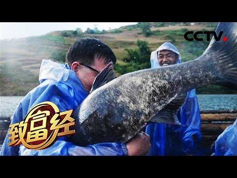 《致富经》集体失踪的鱼 一年带回3000万元 20190102 | CCTV农业