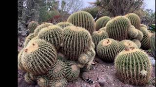 The Most Beautiful Barrel Cactus Garden  -  Huntington Library