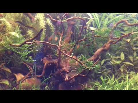 17 Hyphessobricon amandae eating tab food