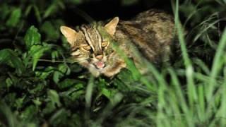 絶滅危惧種・ツシマヤマネコを守れ