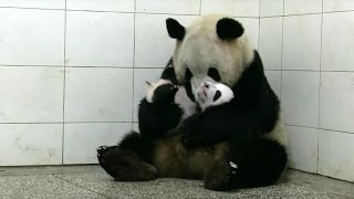 Baby Twin Pandas | Panda Babies | BBC Earth