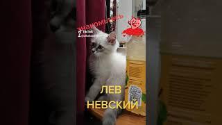 Лев Невский котик,котейка, котёнок