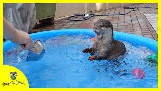 【カワウソビンゴ夏休み】初めてのプールで大はしゃぎ!(Otter Bingo's summer vacation) Having fun swimming in the pool