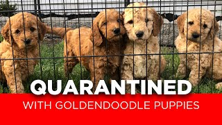 QUARATINED With Goldendoodle Puppies