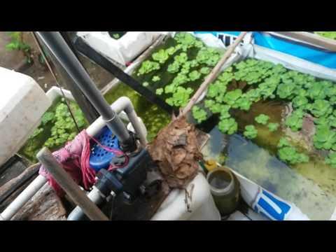 Video Ternak ikan guppy