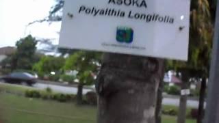 preview picture of video 'Asoka - Polyalthia Longifolia'