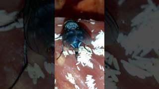 Муха наложила свои личинки на мясо
