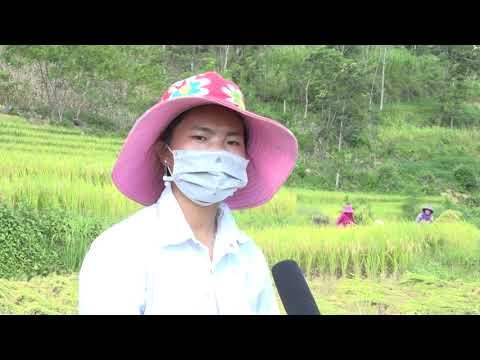 Xã Sín Chéng tập trung thu hoạch lúa mùa