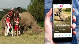 Verdens ensomste næsehorn får dating-profil
