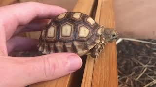 Baby Sulcata Tortoise Care Guide