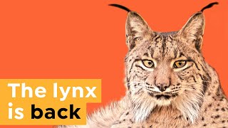 How this Wild Cat is Coming Back from Extinction
