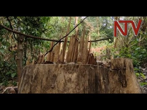 Mabira forest steadily being lost to illegal logging
