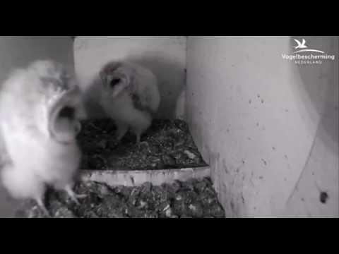 Barn Owl Chicks Discover Ceiling - 03.07.17