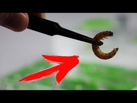 Wie die Parasiten der Würmer des Organismus herauszuführen