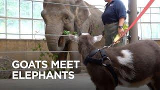 Tiny Goats Visit Elephants