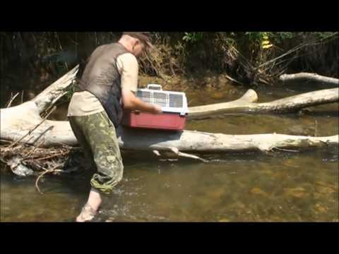 Выпуск американской норки в дикую природу из Приморского Сафари-парка - Приморский Сафари Парк