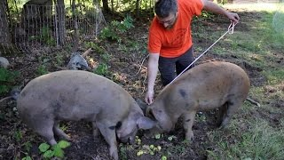 How to measure pigs to figure out their Live Weight!