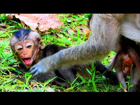 Poor lori very angry mum cos not breastfeed , Lori so hungry she is weak baby monkey
