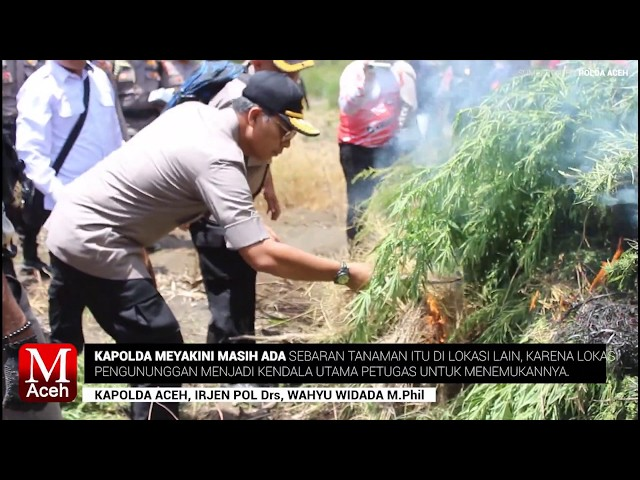 Polda Aceh Musnahkan 25 Hektar Ladang Ganja di Gayo Lues
