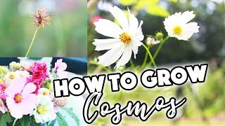 HOW TO GROW COSMOS FROM SEED🌸/PINCHING/SEED SAVING//A BEAUTIFUL NEST