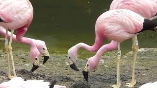 Andean flamingos start a new nest mound