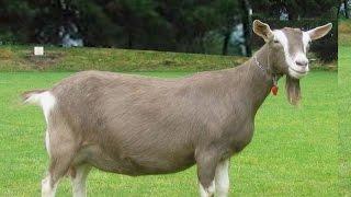 انواع الماعز و اسمائها بالصور