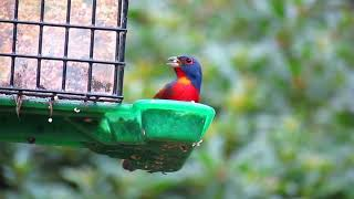 Painted Bunting Interlude