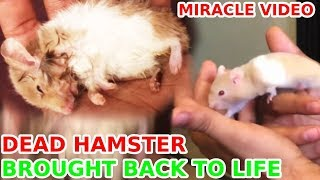 MIRACLE! Dead Hamster brought back to life   Azlan Shah