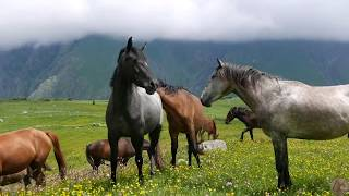 Диких лошадей можно увидеть в Грузии (Казбеги) - Видео онлайн