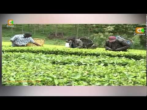 Lawyer, Tea-Picker Turned Teacher in Thika