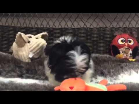 Fluffy, Black & White Female Peke-A-Tzu