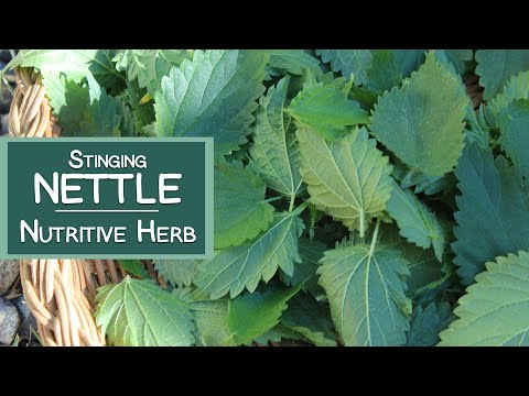 Video Stinging Nettle, A Nutritive Herb and Energizing Tea