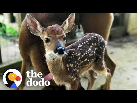 This Fawn Loves His Human Friend