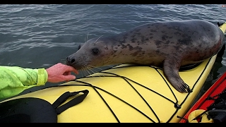 Cheeky Seal Hitched A Ride On My Kayak.