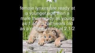 lynx endangered species.