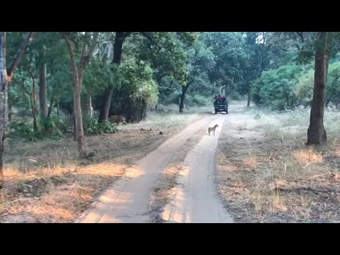 Tiger Of Kanha |Tiger Hunting Wild Dog | Indian Royal Bengal Tiger