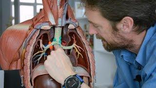 Lung lymphatics (anatomy)