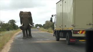 African elephant  attacks car and run