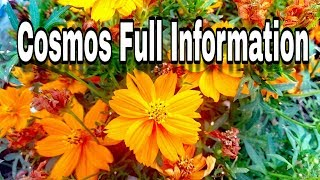 HOW TO GROW COSMOS FROM SEEDS..IN HINDI.