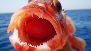 Ловля морского окуня в баренцевом море