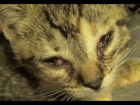 Kitten Conjunctivitis & How To Treat It ~ Care Info In Comments ~ Eye Infections This Bad Need A Vet